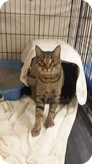 American Shorthair Cat for adoption in Chicago, Illinois - Vinny