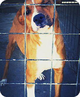 Redbone Coonhound/Labrador Retriever Mix Dog for adoption in Odessa, Texas - Nola