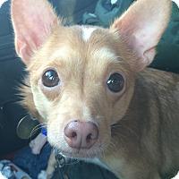Adopt A Pet :: Viola - Oak Ridge, NJ