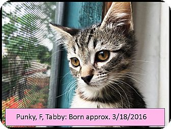 Domestic Shorthair Kitten for adoption in Orange, California - Punky
