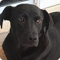 Adopt A Pet :: ABBY~SWEET & SHY 7 MO BLACK LAB X NEEDS PATIENCE - Seminole, FL