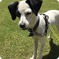 Adopt A Pet :: Gwen in El Paso - San Antonio, TX