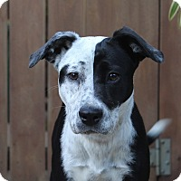 Border Collie Mix Puppy for adoption in Los Angeles, California - Meadow