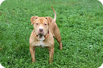 Pit Bull Terrier Mix Dog for adoption in Manahawkin, New Jersey - Bolt