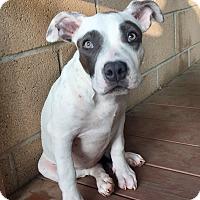 Adopt A Pet :: Parker (ARSG) - Santa Ana, CA