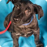 Adopt A Pet :: Blair - Minneapolis, MN