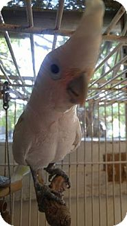 Cockatoo for adoption in Burleson, Texas - Delilah