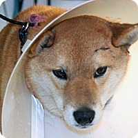 Adopt A Pet :: Mica - Wildomar, CA