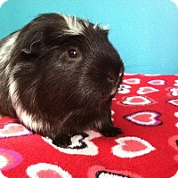 Guinea Pig for adoption in Coral Springs, Florida - Steven (Neutered)