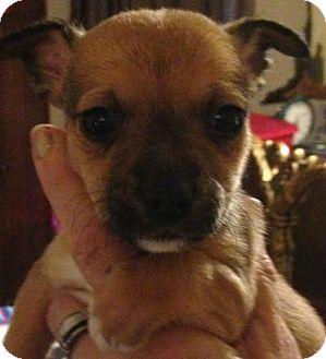 Chihuahua Mix Puppy for adoption in Trenton, New Jersey - Dillon