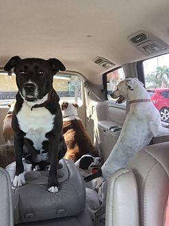 Hound (Unknown Type)/Labrador Retriever Mix Dog for adoption in Port Charlotte, Florida - Dixie