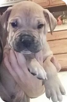 Boxer/Pit Bull Terrier Mix Puppy for adoption in Clear Lake, Iowa - Boots