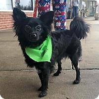 Adopt A Pet :: Misty - Centreville, VA