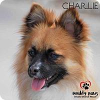 Adopt A Pet :: Charlie (Chi/Pom) - Council Bluffs, IA
