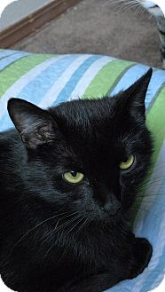 Domestic Shorthair Cat for adoption in Bentonville, Arkansas - Binx