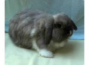 Lop-Eared Mix for adoption in Williston, Florida - Fuzzels