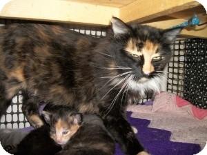 Calico Cat for adoption in Santa Monica, California - Patches