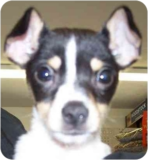 Payton Adopted Puppy An00126 Anderson In Rat Terrier American Eskimo Dog Mix