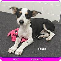 Adopt A Pet :: Cinda Bella - San Francisco, CA