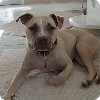 Adopt A Pet :: Ivy - San Jose, CA