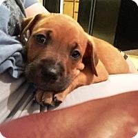 Adopt A Pet :: Charlie Brown - Ft. Lauderdale, FL
