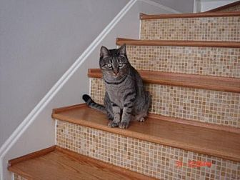 Domestic Shorthair Cat for adoption in Houston, Texas - Bodi