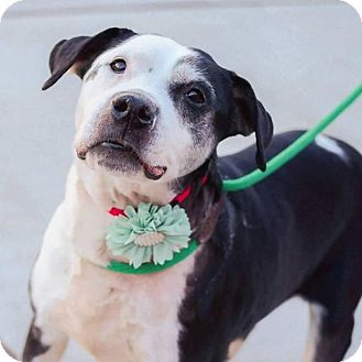 American Staffordshire Terrier/Pointer Mix Dog for adoption in Wayne, New Jersey - Miss Lily