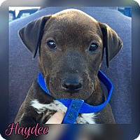 Adopt A Pet :: HD12 pup Haydee - Tucson, AZ
