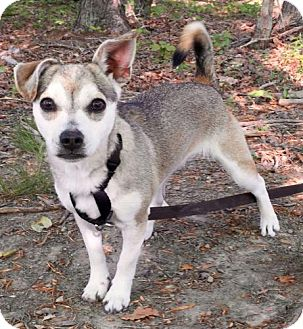 Chihuahua Mix Dog for adoption in Washington, D.C. - Chloe