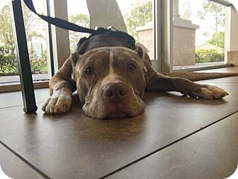 Pit Bull Terrier/Staffordshire Bull Terrier Mix Dog for adoption in Orlando, Florida - Sarge