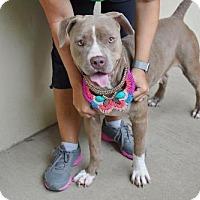 Adopt A Pet :: Madeline - McKinney, TX