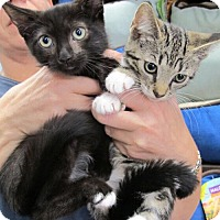 Adopt A Pet :: Bryce and Bliss, Cuddle Babies - Brooklyn, NY