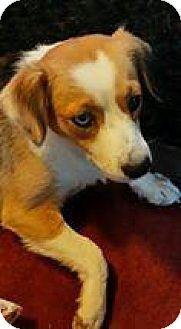 Dachshund/Beagle Mix Dog for adoption in Racine, Wisconsin - Mickey