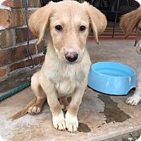 Adopt A Pet :: Ellie - oklahoma city, OK