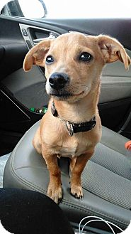 Chihuahua Mix Puppy for adoption in Providence, Rhode Island - Buster