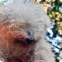 Toy Poodle Mix Dog for adoption in Fairfax Station, Virginia - Randi