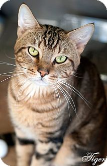 Bengal Cat for adoption in Manahawkin, New Jersey - Tiger