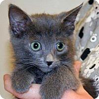 Domestic Shorthair Kitten for adoption in Wildomar, California - 322785