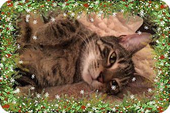 Domestic Shorthair Cat for adoption in Richmond, Virginia - Tabitha