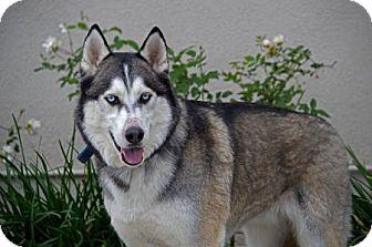 Husky/German Shepherd Dog Mix Dog for adoption in Downey, California - Bowie