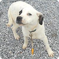 Adopt A Pet :: Buck - Effort, PA