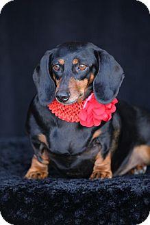Dachshund Dog for adoption in SAN PEDRO, California - Vienna
