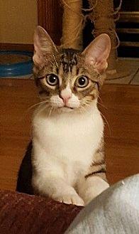 Domestic Shorthair Cat for adoption in Kohler, Wisconsin - Saffron