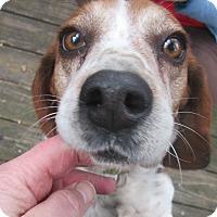 Adopt A Pet :: Kelsey - Dumfries, VA