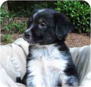 Australian Shepherd/Border Collie Mix Puppy for adoption in Thomasville, North Carolina - Dylan