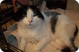 Domestic Longhair Cat for adoption in Acme, Pennsylvania - Crash