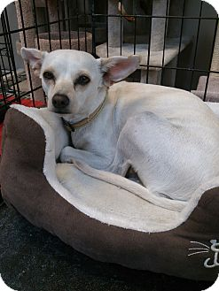 Chihuahua Mix Dog for adoption in Westley, California - Moon