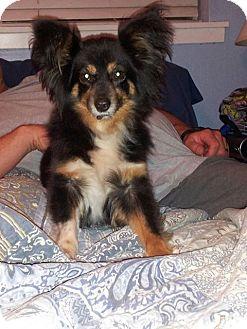 """Australian Shepherd Dog for adoption in Abilene, Texas - """"Livie"""" Olivia"""