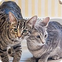 Domestic Shorthair Cat for adoption in Chicago, Illinois - Mitzie & Trixie