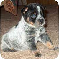 Adopt A Pet :: Trent - Phoenix, AZ
